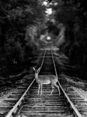 """""""Deer on a Railway Track"""" by Mohan Krishna won Best of Show in the Friends of Black Bayou photo contest."""