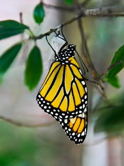 A Monarch butterfly emerges from its chrysalis at Louisville's Cane Run Elementary in September.