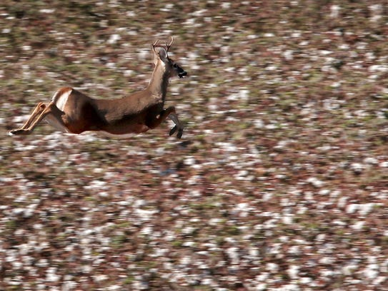 A deer runs through cotton fields that cover most of