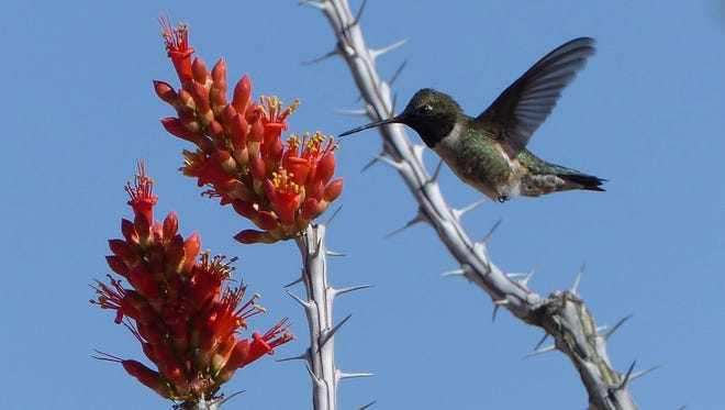 A male black-chinned hummingbird visits an ocotillo flower.