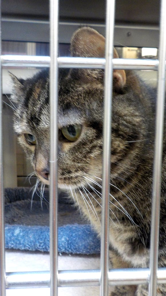 A cat is seen here at the York County SPCA in Manchester Township in February.