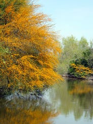 Colorful huisache trees like this line a creek near