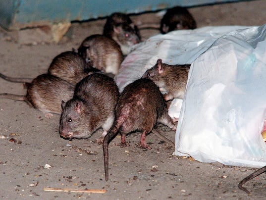 Researchers uncover the disgusting truth about NYC rats
