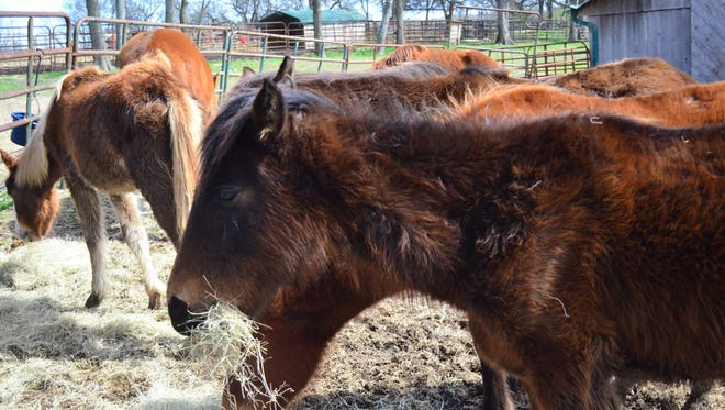 Volunteer Equine Advocates is working on feeding a group of rescued horses and giving them the nutrition they need.
