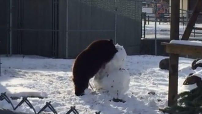 Marshmallow, the black bear vs. the snowman