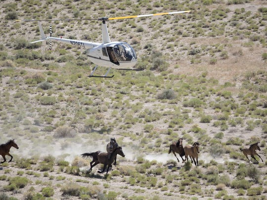 A BLM-contracted helicopter crew rounds up some of