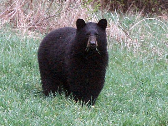 636277667424831266-Black-bear.jpg