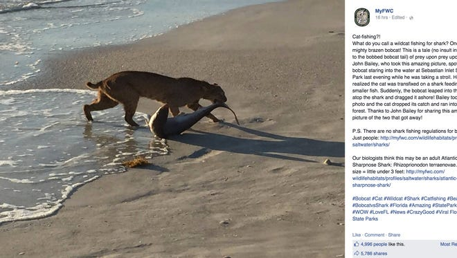 John Bailey, a Florida photographer, snapped a picture on the beach of a bobcat pulling a shark out of the ocean.