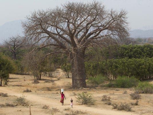Africa Dying Baobabs