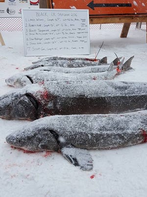 Sturgeon harvested during the 2016 Black Lake season are lined up on the ice, following an examination by DNR personnel.