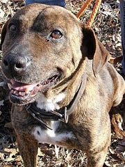 Reese is an adult, spayed, female pit bull terrier