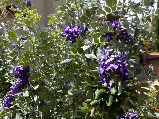 The Texas mountain laurel has blooms that have a scent similar to grape soda.
