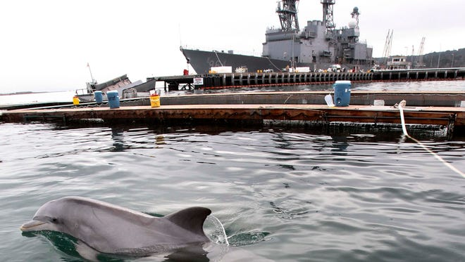 In this Nov. 29, 2012 photo, an adult and baby Atlantic bottlenose dolphin swim in one of the pens at Point Loma, Calif. The U.S. Navy trains dolphins to track mines.