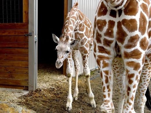 Tajiri, the giraffe baby of April and Oliver, celebrated