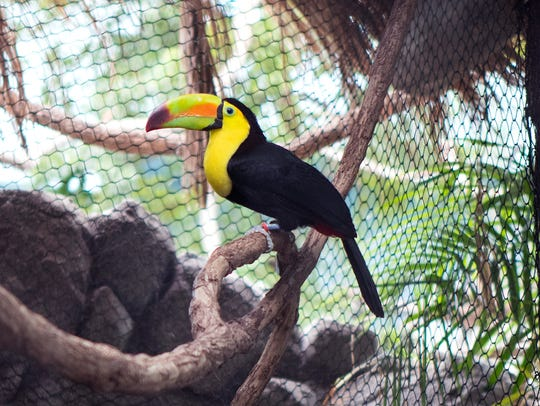 This keel-billed toucan, also located in the jungle