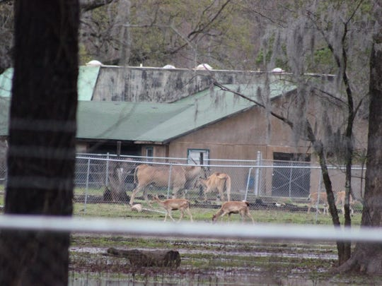 Animals in the Louisiana Purchase Zoo & Gardens grazed in the dry areas of their pen on Thursday. The area surrounding the zoo was flooded.