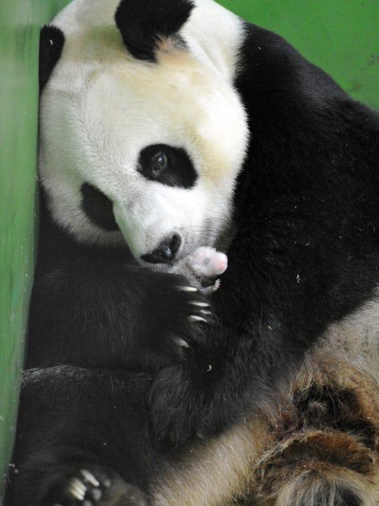 China Panda Triplets
