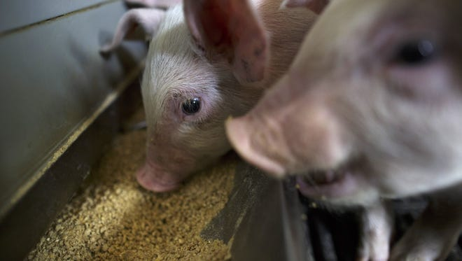 Scientists envision a future where piglets like these could carry human organs.