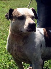 Smitty is a 5-year-old, neutered. male pit bull terrier