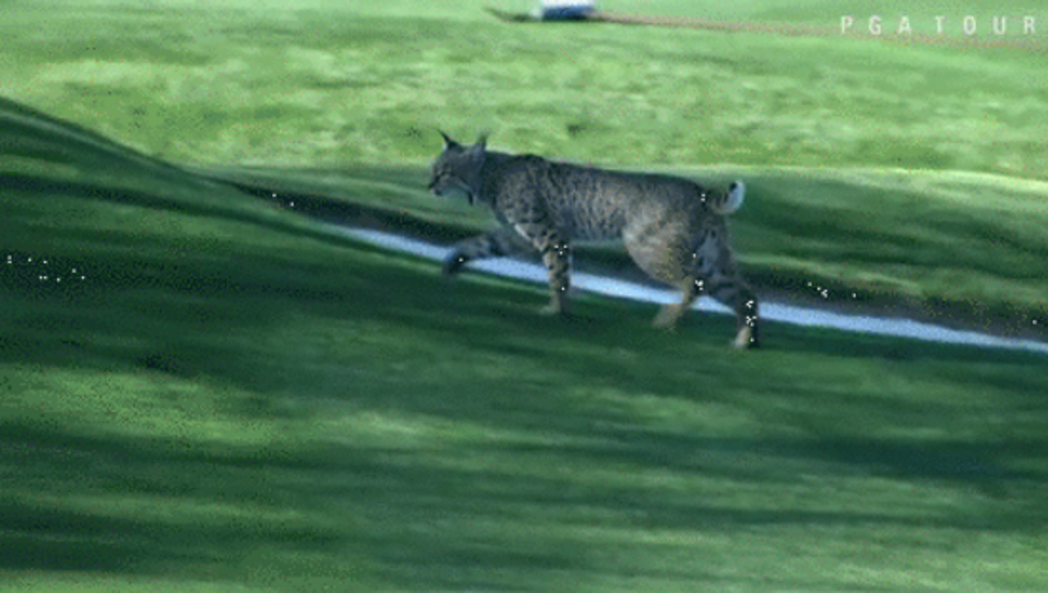 A bobcat was spotted at the Phoenix Open.