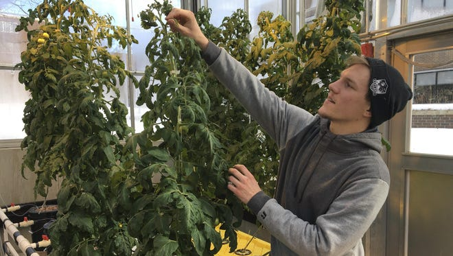 In this Feb. 14, 2019 photo, Colton Welch, a junior at the State University of New York at Morrisville, N.Y., tends hydroponic tomato plants which will provide students with data applicable to cannabis cultivation.