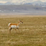 A pronghorn antelope walks across an empty field west of Great Falls.