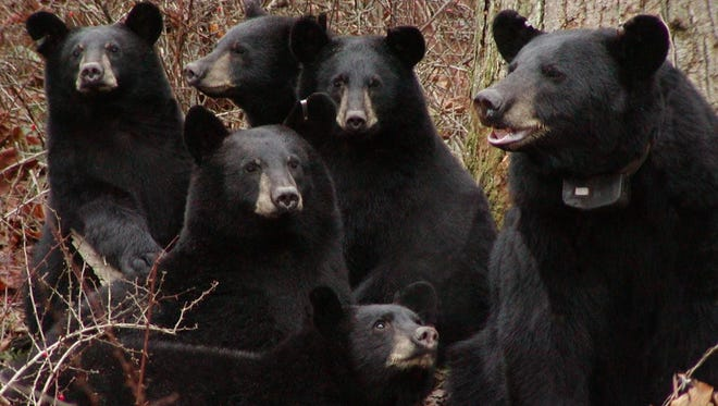 A New Jersey sow with her five cubs.  Bear season opens Monday in the state
