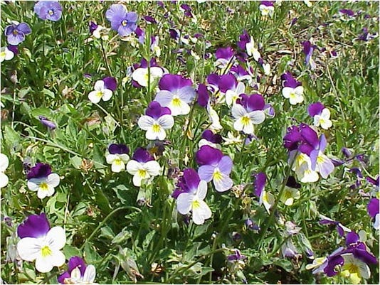 Really Alpine Violas.jpg