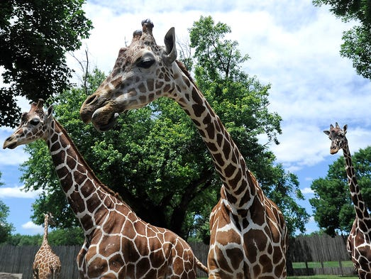 Giraffes at the Great Plains Zoo in Sioux Falls, S.D., Wednesday, July, 2, 2014.