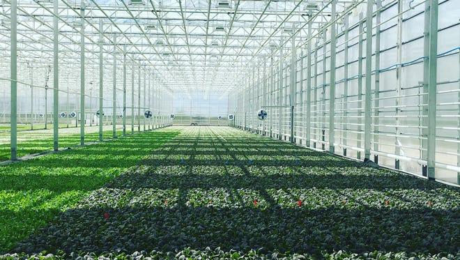 The interior of a BrightFarms greenhouse in Chicago area.