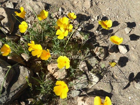 Poppies at Estrella Mountain Regional Park.