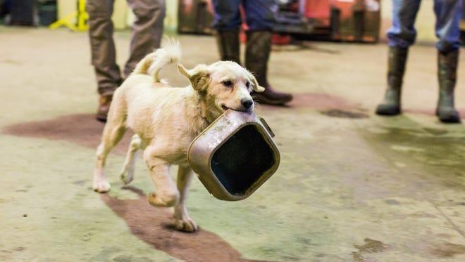 Daisy lleva un cuenco de agua después de verter el agua sobre el cemento en un granero en Bear Creek Game Ranch en Vicksburg, Michigan, el miércoles 14 de diciembre de 2016. Según su propietario, David Perkins, Daisy hará lo mismo en casa con su cuenco de agua.