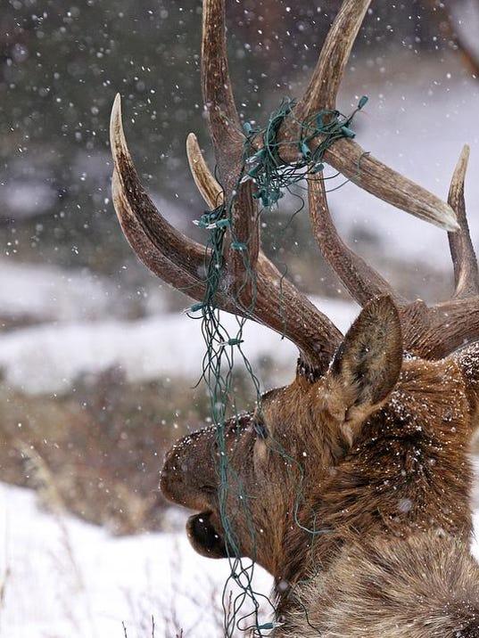 bull elk with christmas lights in antlers.jpg