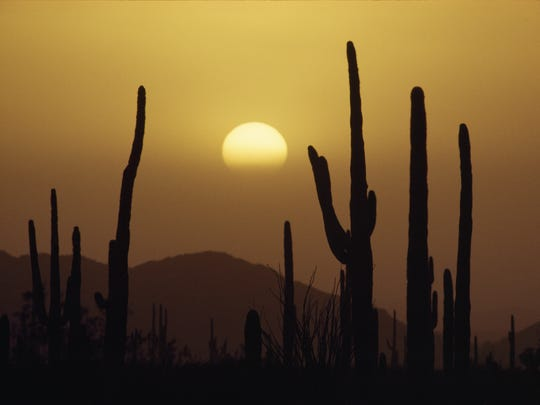 The Saguaro Cacti reach high towards the dusty, yellow