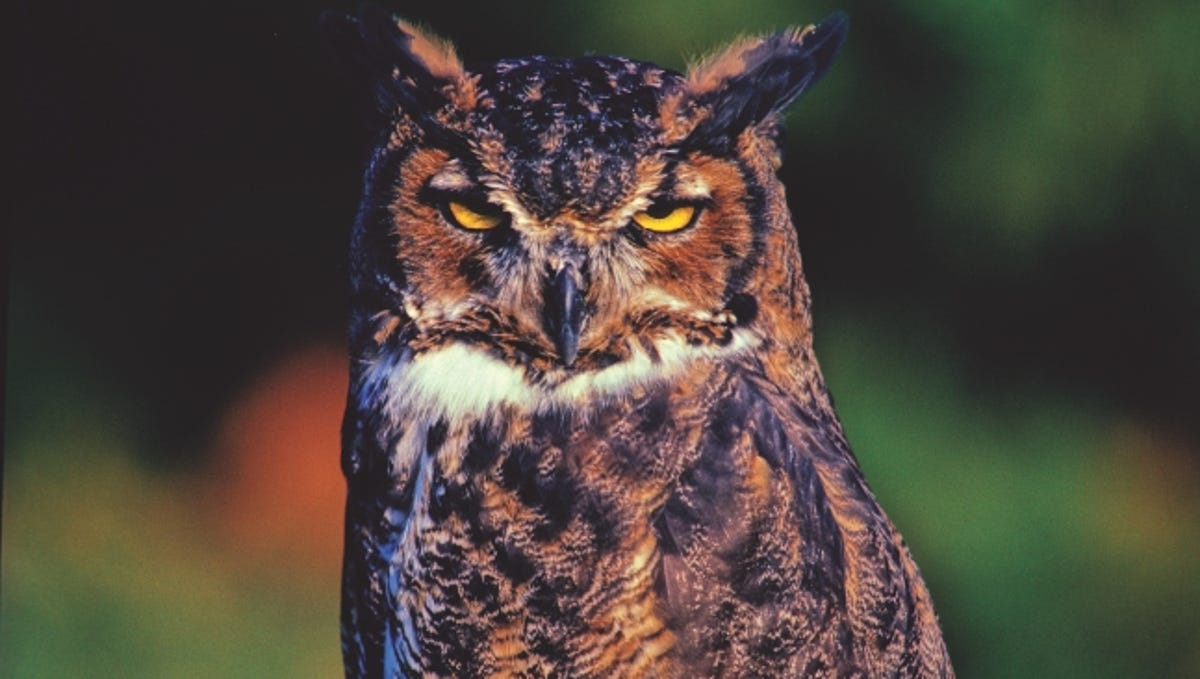 6 Fun Facts About Great Horned Owls