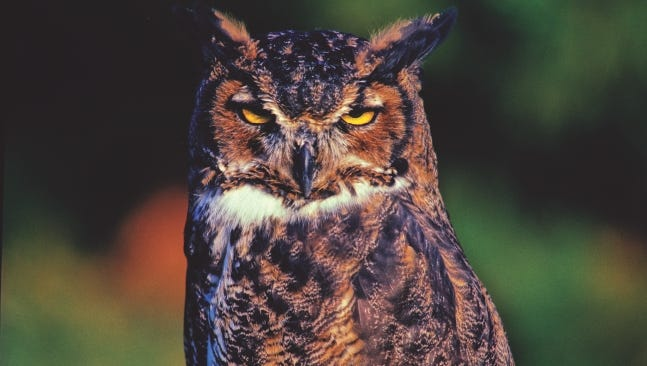 Great Horned Owls are found throughout North America and is equally at home in wetlands, forests, deserts, prairies, backyards and cities.