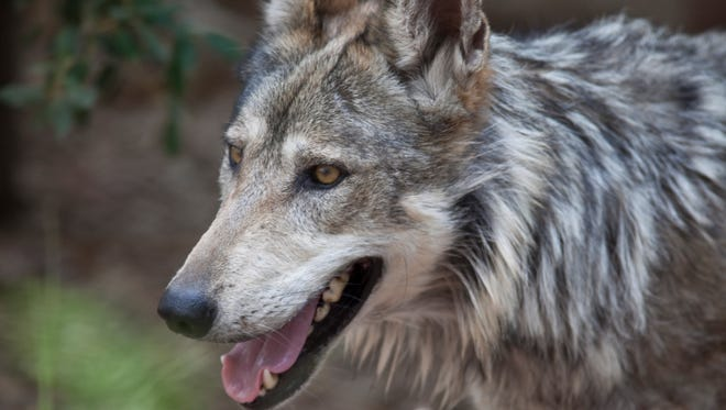 Numbers of Mexican gray wolves in the wild are down.