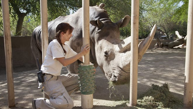 In 2013, zookeeper Paige McNickle puts out some hay for Half-Ear, a white rhino at the Phoenix Zoo. Half-Ear died Nov. 22, 2016.