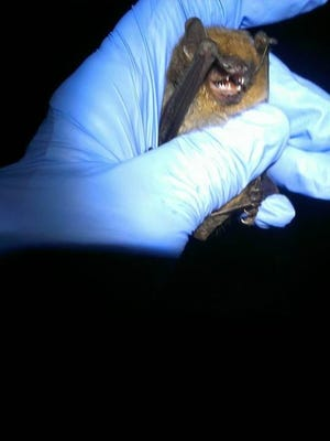 Never handle a bat with your bare hands, even if it is behaving normally.