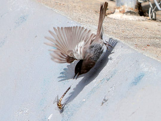 A small bird attempts to catch a dragonfly Friday morning at Natividad Creek Park in Salinas.