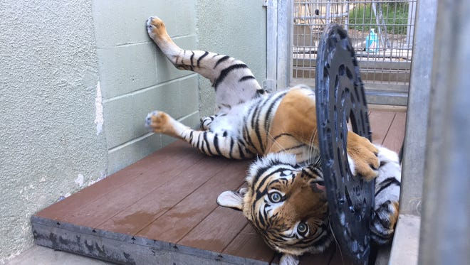 The female tiger Arya arrives today at Zoo Knoxville. Seen here at her previous home at the Fresno  Chaffee Zoo, the 3-year-old tiger is one of 64 endangered Malayan tigers in zoos. She's a potential mate for the park's two male tigers.