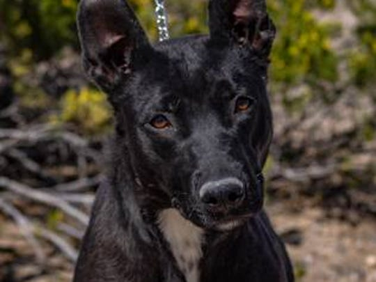 Marla - Female (spayed) shepherd mix, about 2 years old. Intake date: 3/22/2018