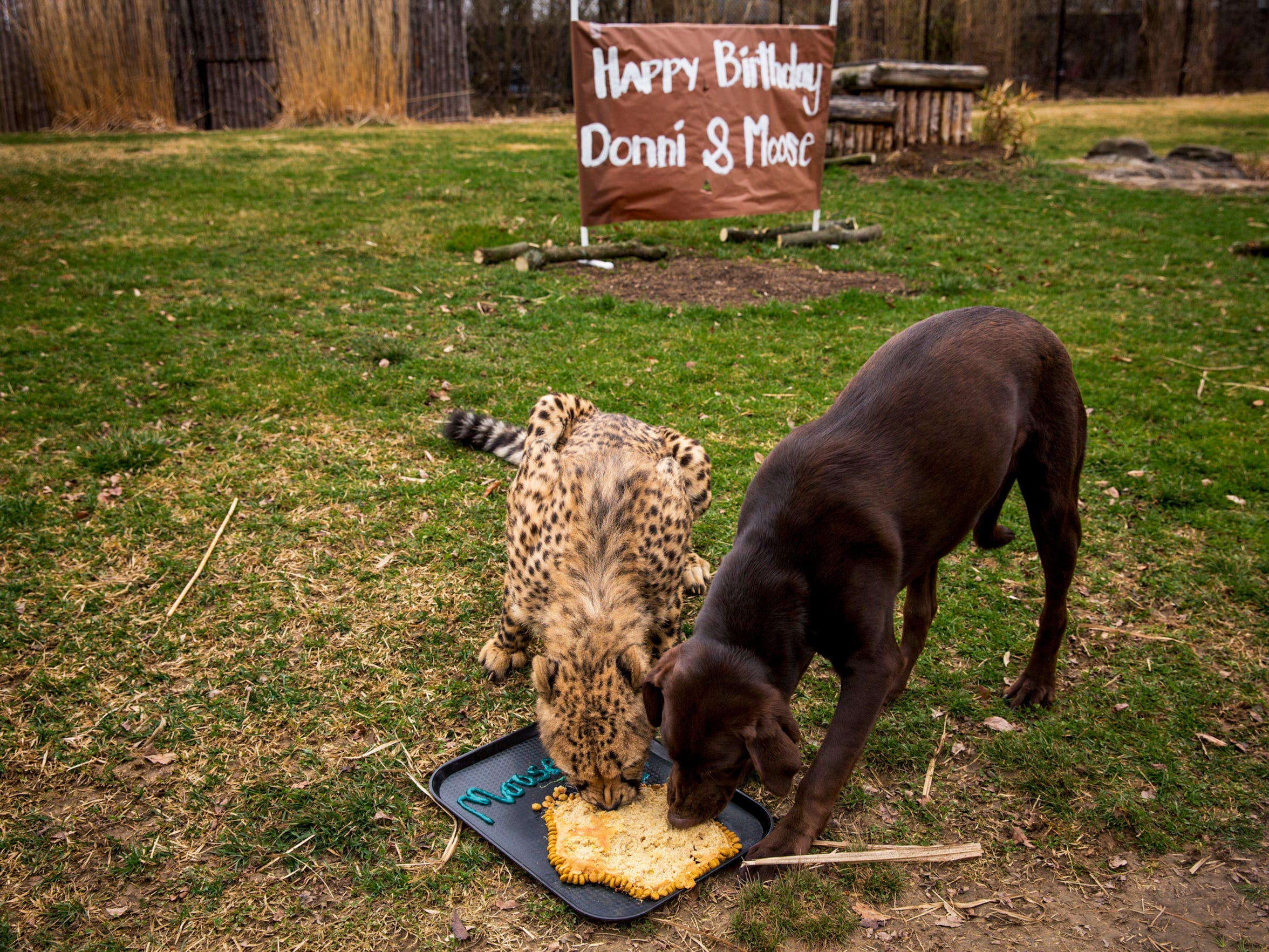 Donni eats Moose's birthday cake during their shared first birthday party Monday, February 27, 2017.