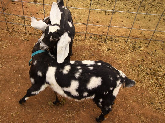 Two Rock Creek Ranch goats play in their pen at the