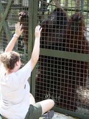 A caregiver does health check training with orangutan