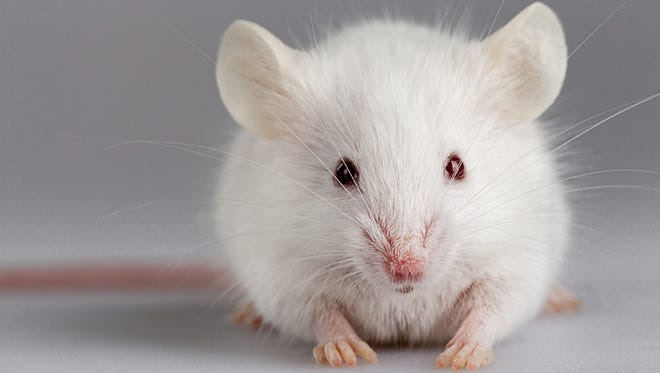An albino mouse