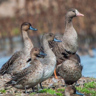Preserving environment for ducks and geese is in the