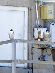 The peregrines known as Sheldon, the male on the left,