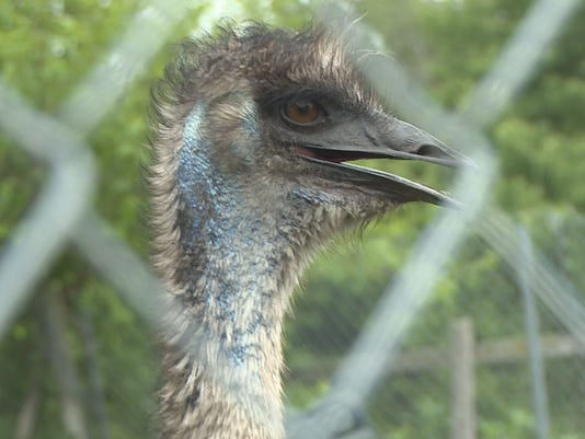 Emu escaped farm