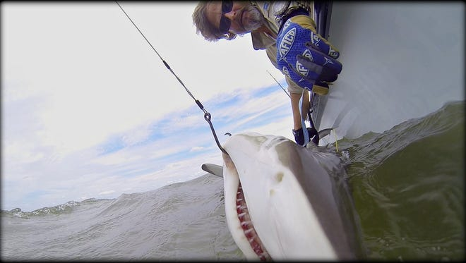 Shark Brother Sean Paxton measures a blacktip shark after tagging it.
